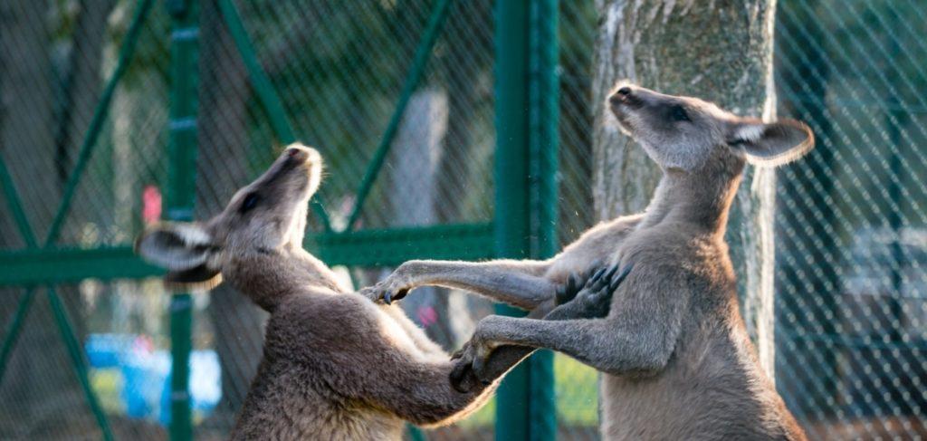 喧嘩しているカンガルー