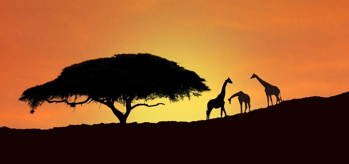 アフリカのキリン